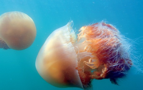 Fukushima: Japan's fishing industry is being devastated by Jellyfish.